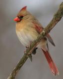 cardinal 262
