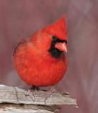 cardinal 263