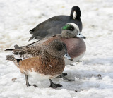 coot and wigeon 2