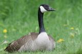 goose 128
