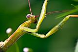 The Praying Mantis