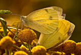 The Small Cabbage White