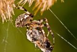 The European garden spider