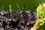 The Caterpillar of Red Admiral