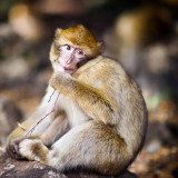 The Barbary Macaque