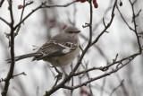 DSC08093p/ Mocking Bird.