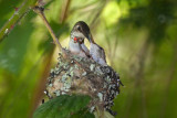 Baby Hummingbirds 2009
