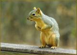 Yard Squirrels