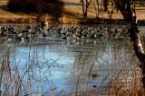 Skating Rink: A La Geese.