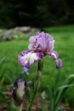 Iris Garden Gorgeous.