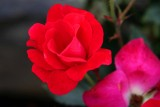 Cherokee Rose.