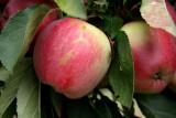 Hartland Apples!