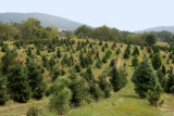 The Green's X-mas Tree Farm.