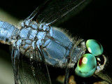 Blue Dasher Dragonfly.jpg