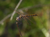 Variegated Meadowhawk.jpg