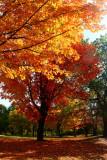 Maple TreesOctober 17, 2008