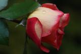 Rose MacroOctober 27, 2008