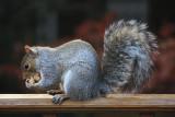 Squirrel on DeckNovember 5, 2008