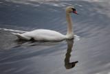 Swan ReflectionNovember 9, 2008