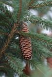 Spruce Pine ConeNovember 16, 2008