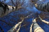Birch TreeNovember 28, 2008