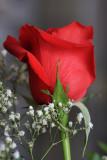 Red RoseJanuary 10, 2009