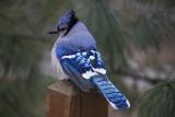 BluejayMarch 1, 2009