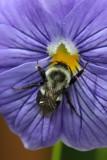 Bumbee Bee MacroJuly 14, 2009