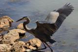 Heron Taking OffJuly 15, 2009