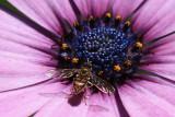 Bee on Daisy MacroJuly 18, 2009