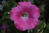 Petunia MacroSeptember 3, 2009