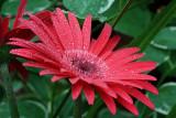 Red Daisy MacroSeptember 22, 2009