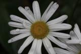 White Daisy MacroSeptember 27, 2009