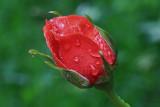 Red Rosebud MacroJune 16, 2010