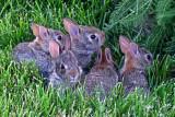 Baby RabbitsJune 25, 2010
