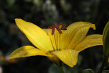 Yellow Lilly MacroJune 29, 2010