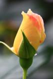 Rose Bud MacroAugust 5, 2010