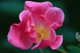 Pink Rose MacroSeptember 9, 2010