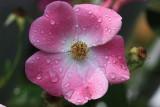 Pink Rose MacroSeptember 22, 2010