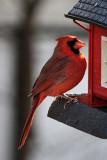 Cardinal November 26, 2010