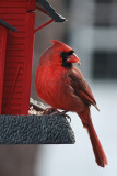 Cardinal at Bird FeederDecember 8, 2010