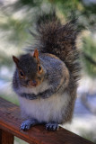 Squirrel in HDR