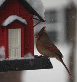 Female Cardinal in the SnowJanuary 12, 2011