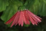 Red Daisy MacroSeptember 9, 2012