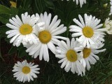 Daisys with WaterdropsOctober 10, 2012