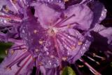 Purple Flower with Water Drops