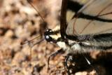 Eastern Tiger Swallowtail Macro