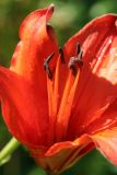 July 19, 2006Red Lilly