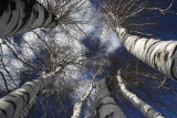Birch TreeFebruary 21, 2008