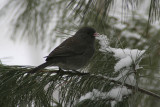 Junco in Pine TreeFebruary 22, 2008